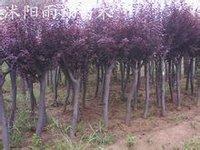 沭阳雨翔苗木园艺场的紫叶李移栽苗