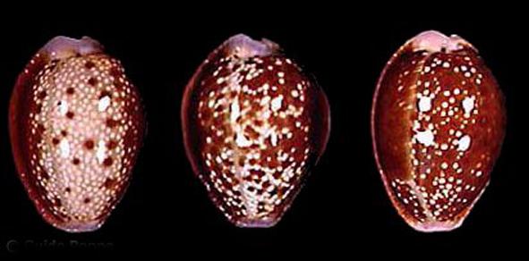 上面布满了各种斑点和花纹,体螺层长大,壳口狭长,在壳体背面的中央线