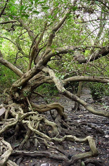 有些木本植物既能在潮间带成为红树林群落的优势种