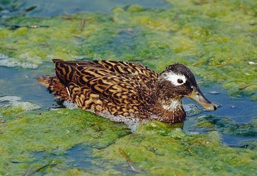 野鸭是国家保护动物图片