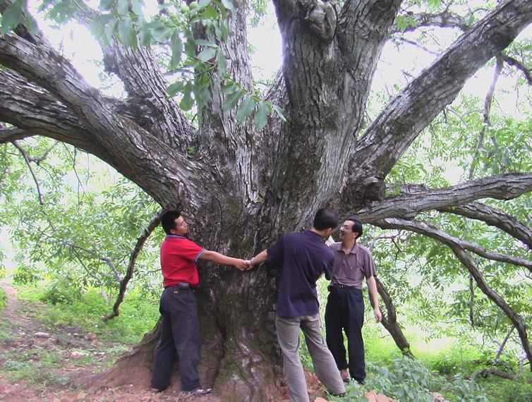 (图)核桃树王