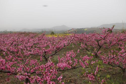 桃花山风景区顺着一条宽阔水泥路从山脚盘曲向上绕