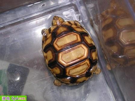 安哥洛卡陆龟主要栖息于马达加斯加岛西北沿海区域的干燥森林或海岸