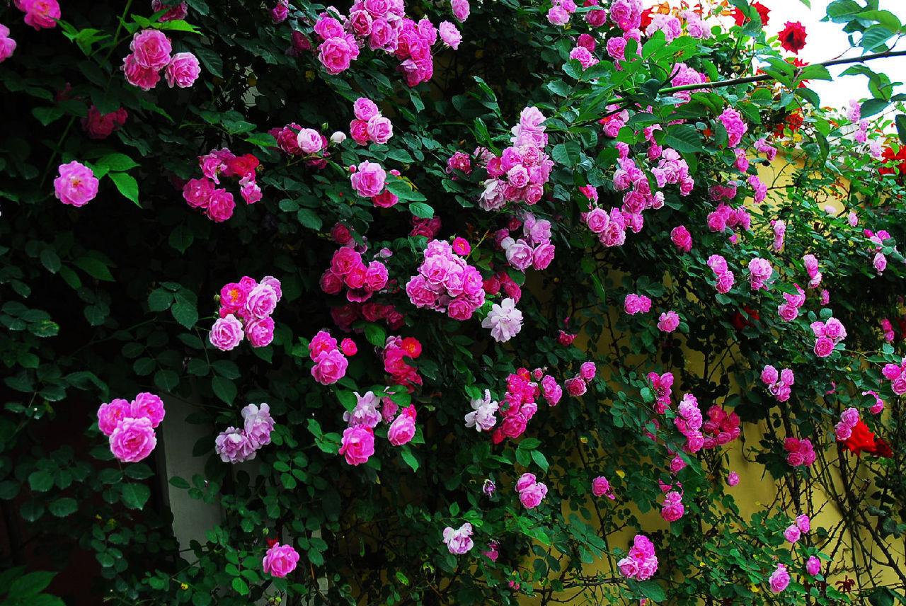 彩铅画 图片 大全 玫瑰花展示