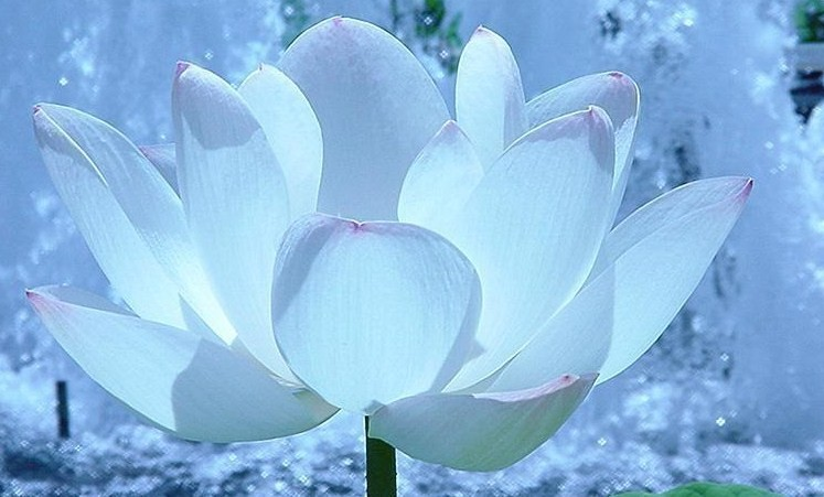 福州市市花+++桂花:杭州