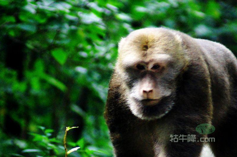牯牛降首次发现的国家二级保护动物——黄山短尾猴